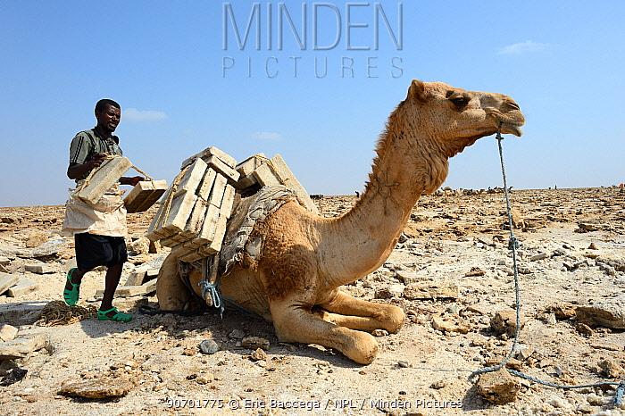 Man loading Dromedary camel (Camelus dromedarius) with 5kg blocks of salt to transport to Mekele Market, Lake Assale, Danakil depression, Afar region, Ethiopia, March 2015.