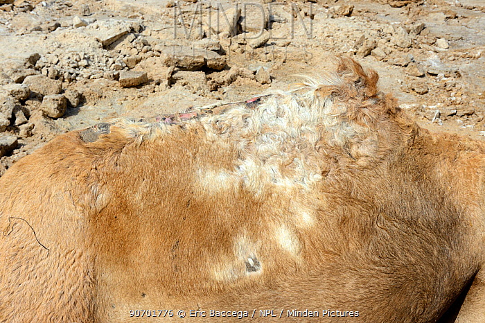 Injured hump of a caravan Dromedary camel (Camelus dromedarius) due to heavy loads of salt, Lake Assale,  Danakil depression, Afar region, Ethiopia, March 2015.