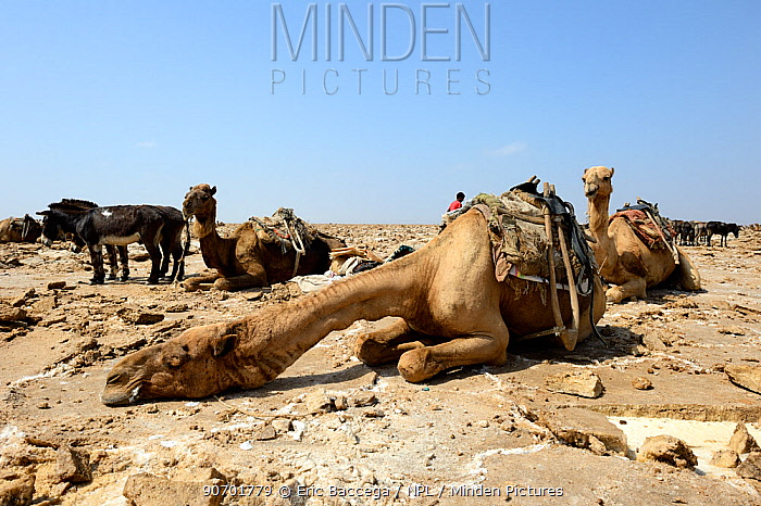 Resting caravan of Dromedary camels (Camelus dromedarius) waiting to transport salt blocks, from Lake Assale,  Danakil depression, Afar region, Ethiopia, March 2015.