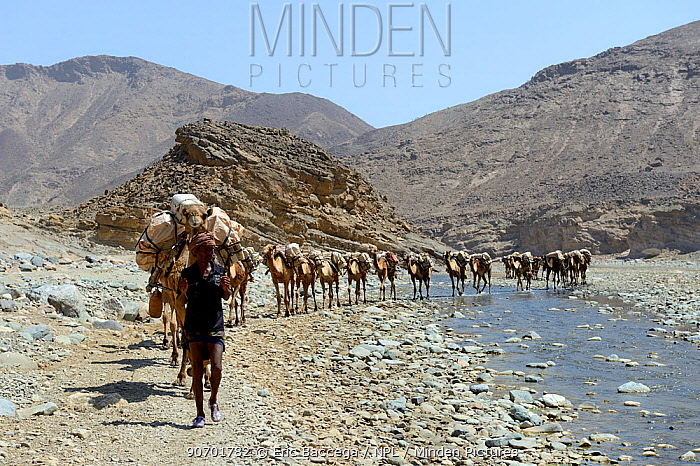 Salt caravans made up of hundreds of Dromedary camels (Camelus dromedarius) and their pullers transporting salt slabs cut from the salt lake Assale, to Mekele market, Saba Canyon, Danakil Depression, Afar region, Ethiopia, March 2015.