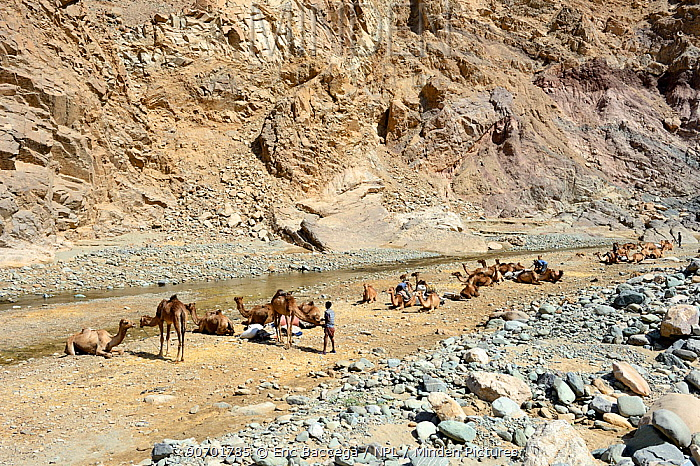Caravan of Dromedary camels (Camelus dromedarius) and their pullers at a resting point, Saba Canyon. Transporting salt from the salt mines of lake Assale to the Mekele market,  Danakil Depression, Afar region, Ethiopia, March 2015.