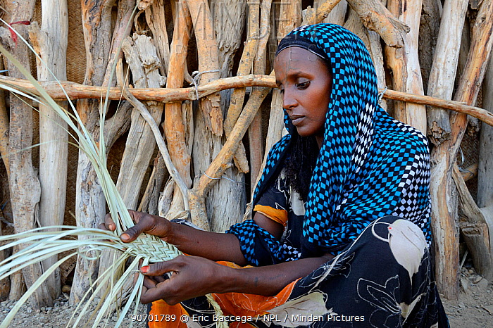 Afar woman weaving palm fronds to mats which will be used as walls for their huts,  Malab-Dei village, Danakil depression, Afar region, Ethiopia, March 2015.