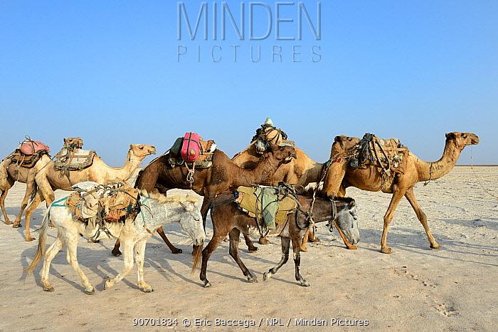 Salt caravans made up of hundreds of Dromedary camels (Camelus dromedarius), donkeys and their pullers transporting salt slabs cut from the salt lake Assale to the Mekele market, Danakil depression, Afar region, Ethiopia, March 2015.