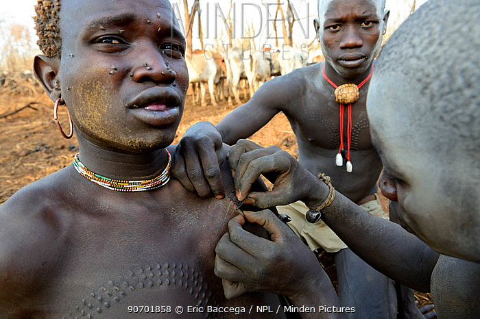 Young man from the Bodi Tribe  having new scars made on his chest with razor blade,  to make decorative skin scarifications. Omo Valley,  Ethiopia, March 2015.