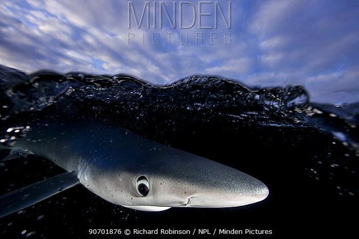 Blue shark (Prionace glauca) just below surface, Hauraki Gulf, Auckland, New Zealand, June.