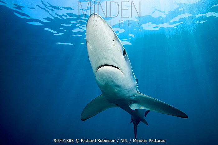 Blue shark (Prionace glauca) worked from below with rays of sun, off the coast of Hawke's Bay, New Zealand, February.