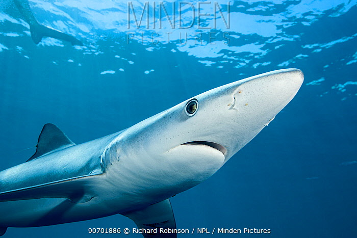Blue shark (Prionace glauca) viewed from below, off the coast of Hawke's Bay, New Zealand, February.