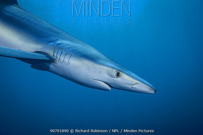 Blue shark (Prionace glauca) portrait, off the coast of Hawke's Bay, New Zealand, February.