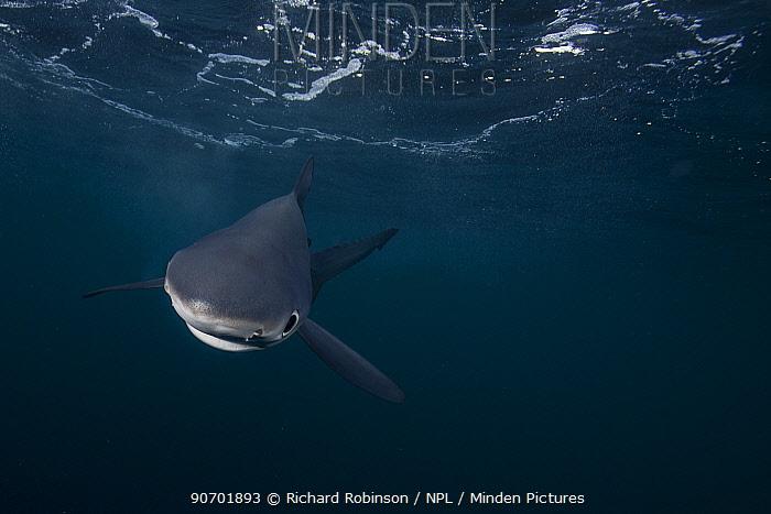 Blue shark (Prionace glauca) just below the surface, Hauraki Gulf, Auckland, New Zealand, June.