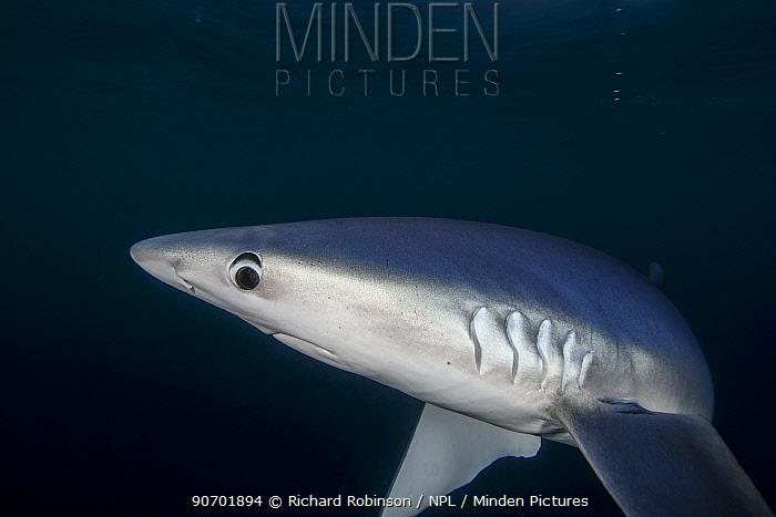 Blue shark (Prionace glauca) portrait, Hauraki Gulf, Auckland, New Zealand, June.
