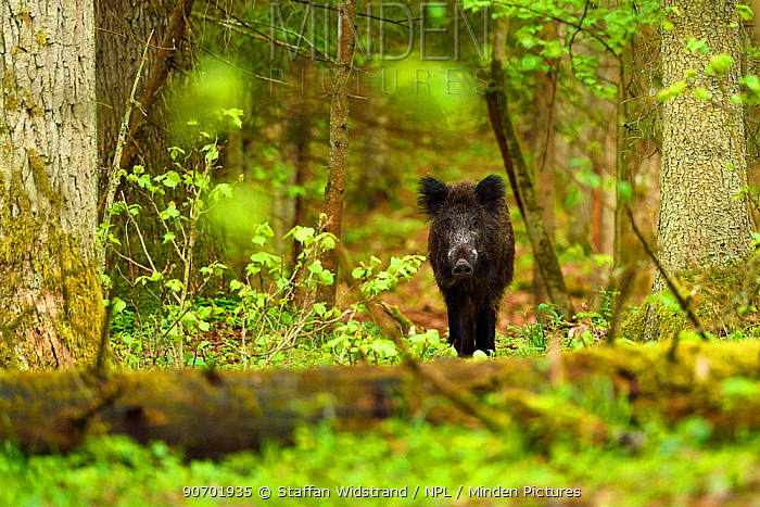 Wild boar (Sus scrofa) in old mixed conifer and broadleaf forest, Punia Forest Reserve,  Lithuania, May.