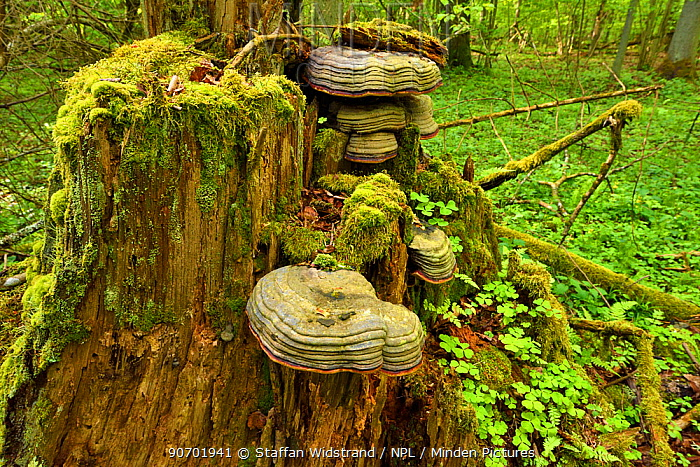 Hoof tinder fungus (Fomes fomentarius) in old mixed conifer and broadleaf forest, Punia Forest Reserve, Lithuania, May.