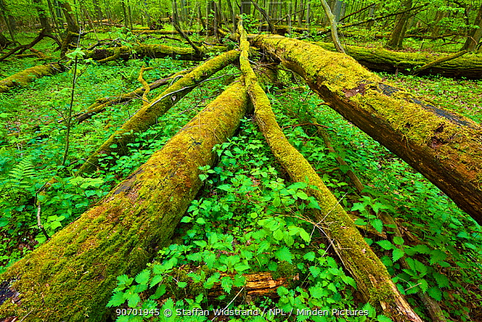 Moss covered fallen trees in old mixed conifer and broadleaf forest, Punia Forest Reserve, Lithuania, May.