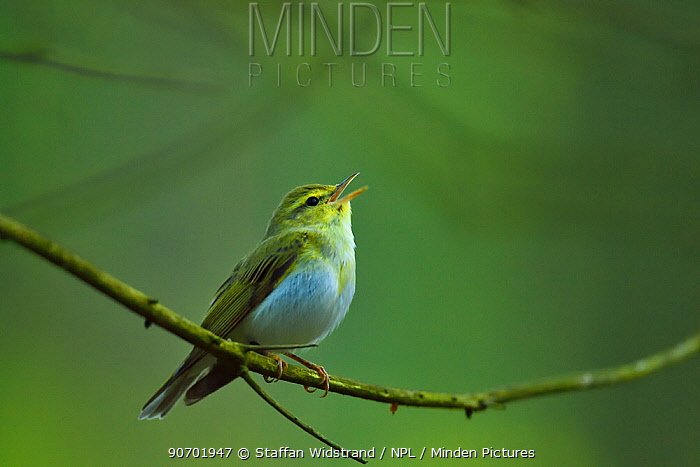 Chiffchaff (Phylloscopus collybita) perched, Punia Forest Reserve,  Lithuania, May.