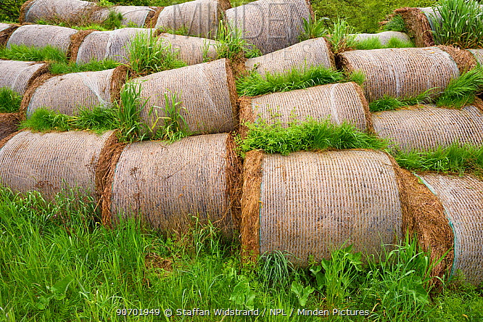 Hay bales, lying abandoned, grown and harvested beacuse of EU subsidies, but without buyers, Nemunas River Delta, Lithuania. May 2015.
