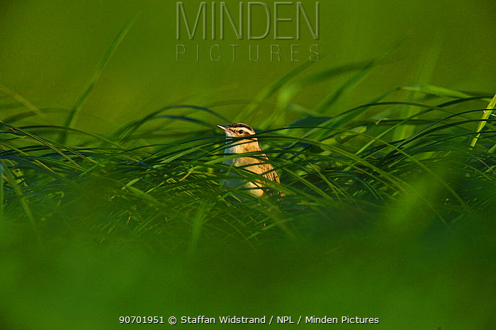 Sedge warbler (Acrocephalus schoenobaenus) in  grass habitat, Nemunas River Delta, Lithuania, May.