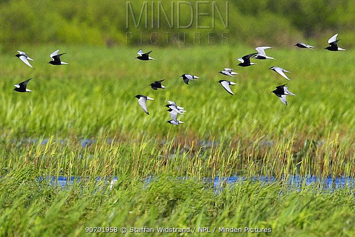 Mixed flock of White-winged black tern (Chlidonias leucopterus), Black tern (Chlidonias niger) and Whiskered tern (Chlidonias hybrida) Nemunas River Delta, Lithuania, May.