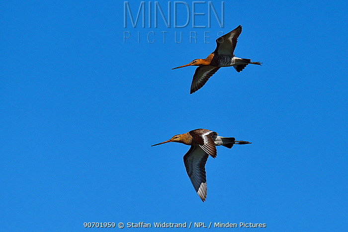 Black-tailed godwit (Limosa limosa) two in flight, Nemunas River Delta, Lithuania, May.