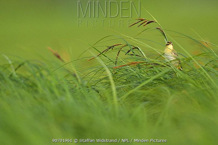 Aquatic warbler (Acrocephalus paludicola) in grass, Nemunas River Delta, Lithuania. Vulnerable species species.