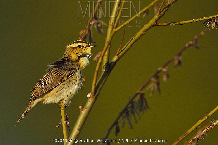 Aquatic warbler (Acrocephalus paludicola) Nemunas River Delta, Lithuania. May. Vulnerable species species.