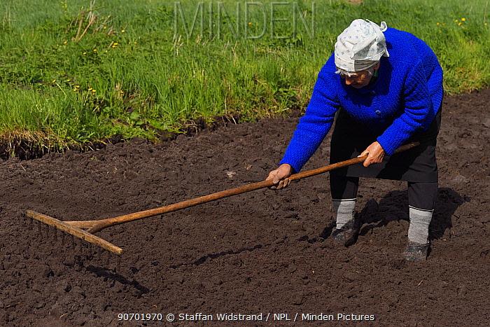 Woman raking soil of her vegetable plot,  subsistence farming, Lithuania, May 2015.