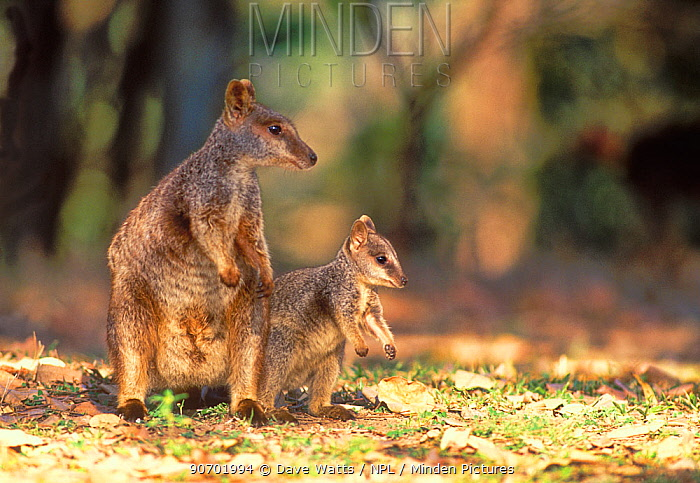 Allied rock-wallaby (Petrogale assimilis) female and joey, Queensland, Australia.