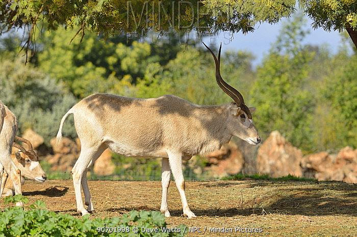 Addax (Addax nasomaculatus) profile, captive in Rabat Zoo, Morocco.  Critically endangered.