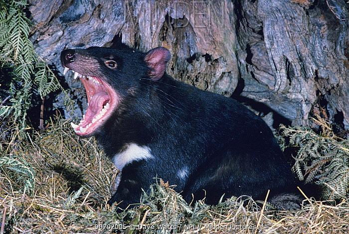 Tasmanian devil (Sarcophilus harrisii) snarling,  Tasmania, Australia.
