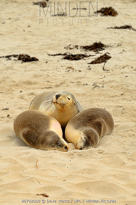 Australian sealion (Neophoca cinerea) group of three hauled out on beach, Kangaroo Island,  South Australia. Endangered species.