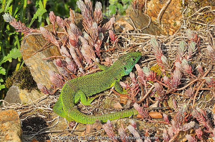 European green lizard (Lacerta viridis) amongst succulents, France.