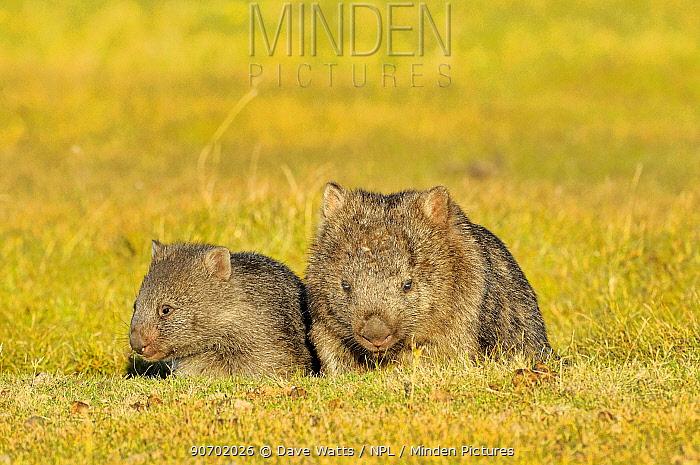 Common wombat (Vombatus ursinus) mother and joey, Tasmania, Australia