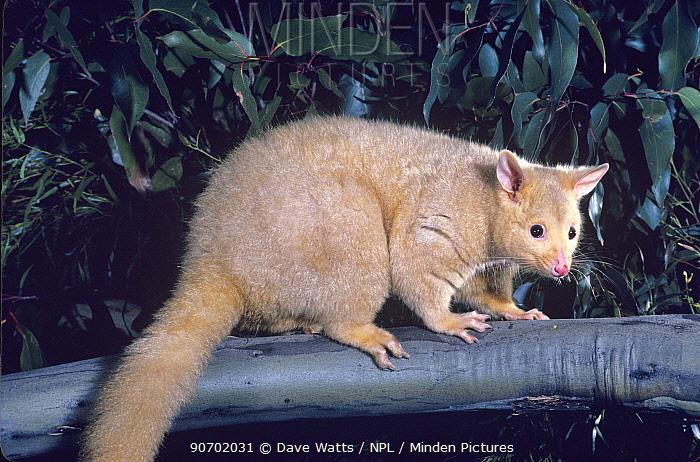 Common brushtail possum (Trichosurus vulpecula) golden colour phase, Tasmania, Australia.