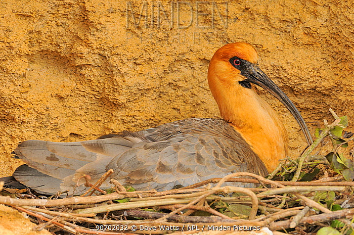 Black-faced ibis (Theristicus melanopis) profile on nest, captive, occurs in South America.