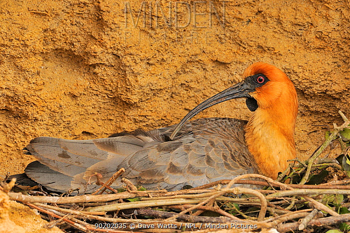 Black-faced ibis (Theristicus melanopis) on nest, captive, occurs in South America