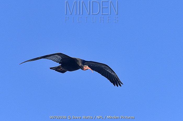 Hermit ibis (Geronticus eremita) in flight, Morocco, Critically endangered.