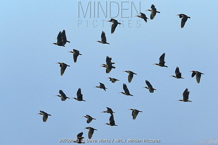 Hermit ibis (Geronticus eremita) flock in flight, Morocco. Critically endangered.