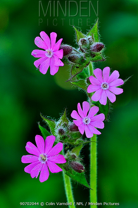 Red campion (Silene dioica) flowers in bloom. Dorset, UK May.