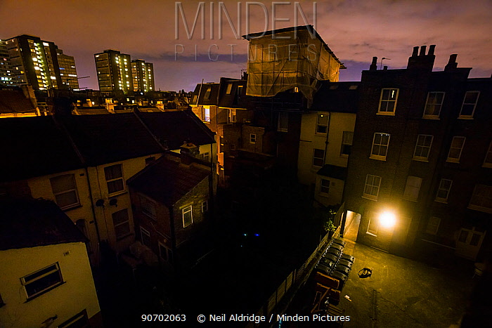 Urban Red fox (Vulpes vulpes)  searching for food near bins in a courtyard at night, West London, United Kingdom, May 2014. Finalist in the Urban category of the Wildlife Photographer of the Year Awards (WPOY) Competition 2015.