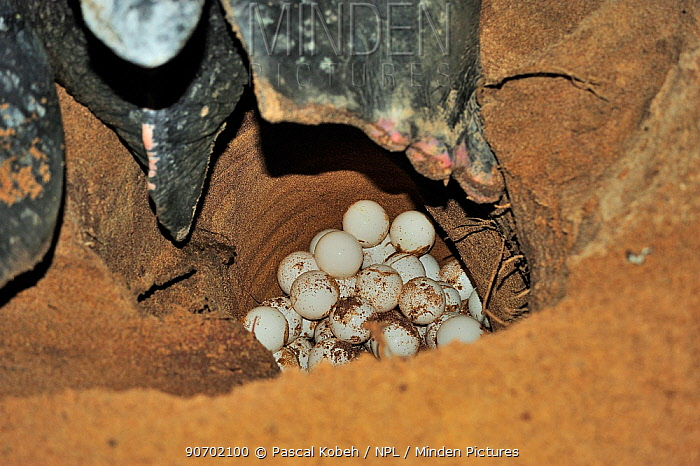 Leatherback sea turtle (Dermochelys coriacea) laying eggs at night, Mana Beach, French Guyana.