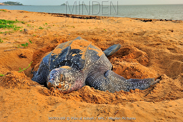 Leatherback sea turtle (Dermochelys coriacea) female on beach, covering nest after laying eggs, Montabo Beach, Cayenne, French Guiana. April.
