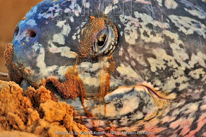Close up of face of Leatherback sea turtle (Dermochelys coriacea) on land to lay her eggs, Montabo Beach, Cayenne, French Guayana. April.