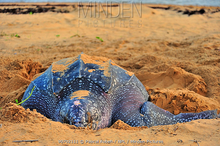 Leatherback sea turtle (Dermochelys coriacea) female, on beach covering nest after laying eggs, Montabo Beach, Cayenne, French Guiana. April.
