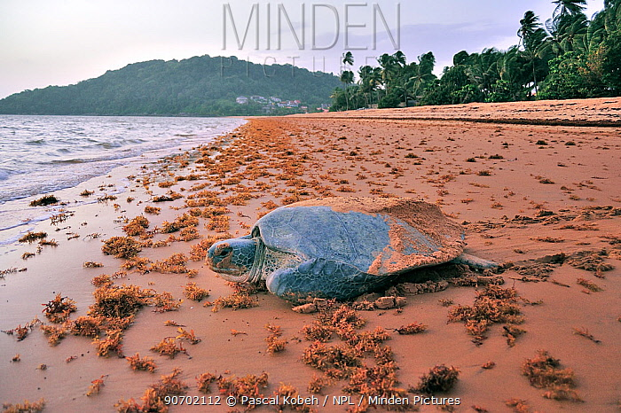 Green turtle (Chelonia mydas) returning to the sea after laying eggs, Montabo Beach, Cayenne, French Guiana. April.