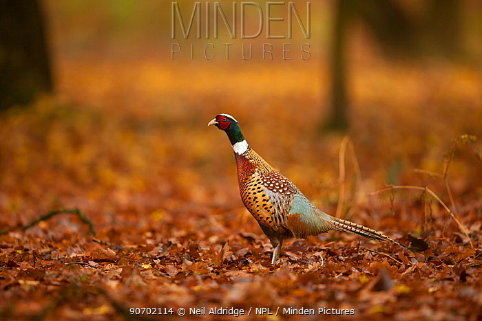 Ring-necked pheasant (Phasianus colchicus) male walking through leaflitter in autumnal colours in woodland on shooting estate, southern England, UK. November.