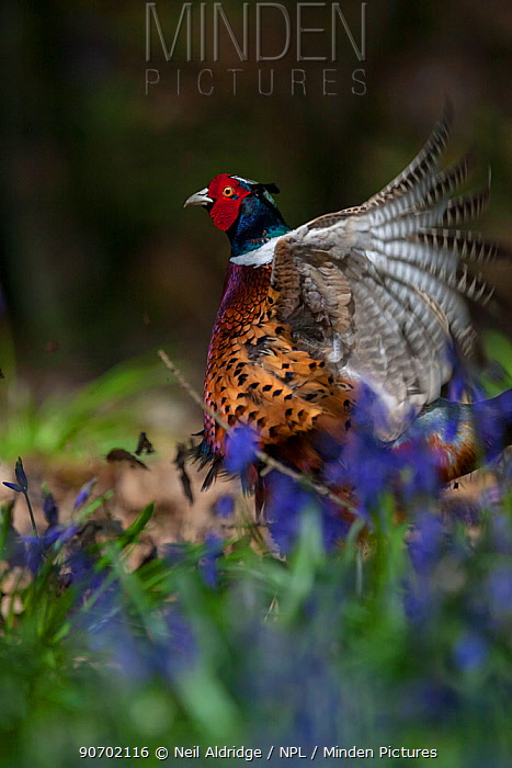 Ring-necked pheasant (Phasianus colchicus) male displaying among bluebells, woodland on shooting estate, southern England, UK. April.