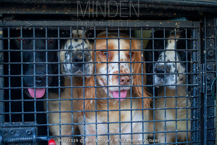 Gundogs waiting to be let out of their crate in the back of a gamekeeper's truck during a winter shoot on shooting estate, southern England, UK. January.
