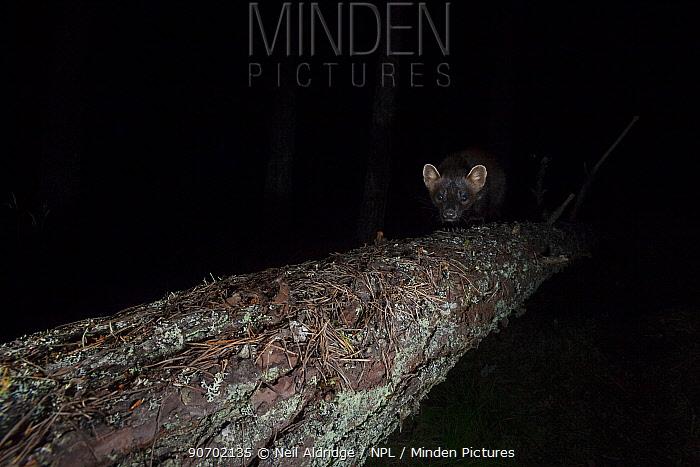 Pine marten (Martes martes) walking along fallen tree,Glen Feshie, Cairngorms National Park, Scotland, UK, July.