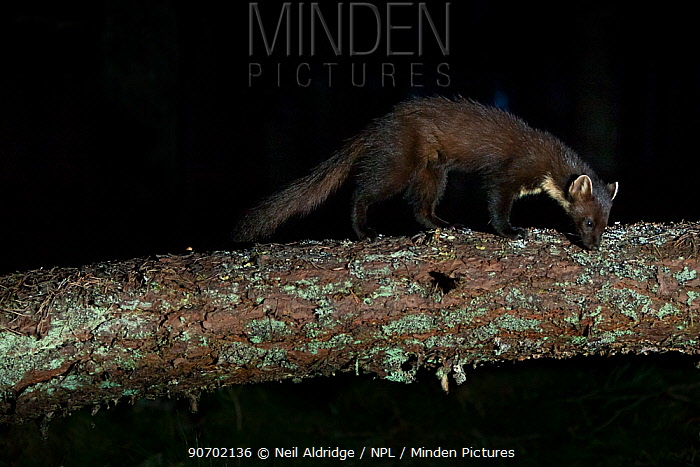 Pine marten (Martes martes) sniffing scent on fallen tree, Glen Feshie, Cairngorms National Park, Scotland, UK, July.