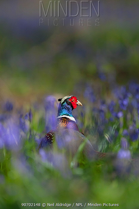 Ring-necked pheasant (Phasianus colchicus) male standing among bluebells during spring in woodland on shooting estate, southern England, UK. April.