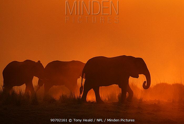 African elephant (Loxodonta africana) herd silhouetted at sunset, Chobe National Park, Botswana.